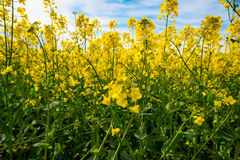 Canola on field stock photo