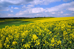 Canola field in Germany Stock Photo