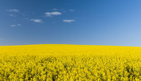 Canola Field Royalty Free Stock Images