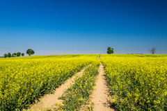 Canola Field for green fuel Stock Photo