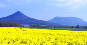 Canola field, Hungary Royalty Free Stock Photo