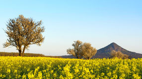 Canola field, Hungary Royalty Free Stock Photos