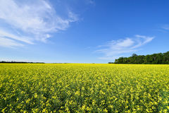 Canola Field. Landscape featuring a canola plants from a farmers field stock images