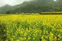Canola field landscape Stock Image