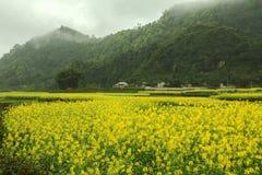 Canola field landscape Stock Photography