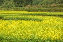 Canola field landscape Stock Photos
