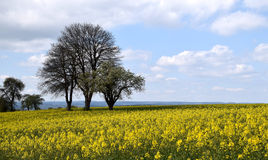 Canola field landscape. Yellow Canola field and cloudy blue sky royalty free stock photo
