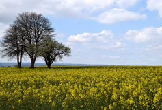 Canola field landscape. Yellow Canola field and cloudy blue sky Stock Image
