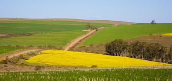 Canola Field Lanscape Royalty Free Stock Images