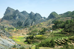 Canola field on mountain of ethnic minorities. Near Dong Van market, Ha Giang province, Vietnam. Ha Giang is one of the six poorest provinces of Vietnam. Ha Stock Photography