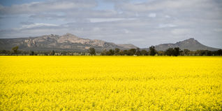 Canola Field and Mountains. Canola crops glow beneath a hot sun with mountains in the background stock images
