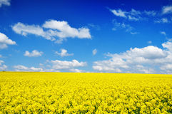 Canola Field Nature Background Stock Photos