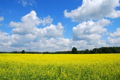 Canola Field Nature Background Stock Images
