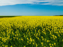 Canola field nature background. View Stock Photos
