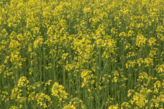 Canola field nature background Royalty Free Stock Photo
