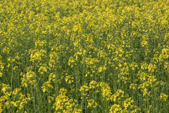 Canola field nature background Royalty Free Stock Image