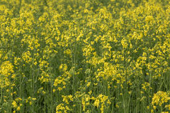 Canola field nature background Royalty Free Stock Images