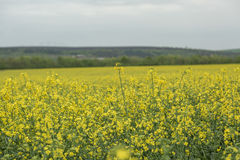 Canola field nature background Stock Image