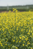 Canola field nature background Royalty Free Stock Photography