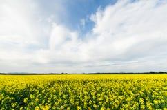Canola field near Ballarat Stock Photography