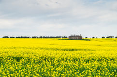 Canola field near Ballarat Royalty Free Stock Images