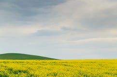 Canola field near Ballarat. A field of golden canola near Ballarat, Australia Royalty Free Stock Photography
