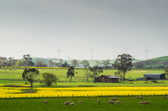 Canola field near Ballarat Royalty Free Stock Photos