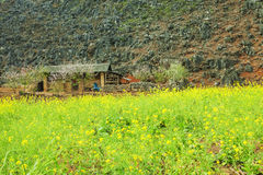 Canola field near house of ethnic minorities. Near Dong Van market, Ha Giang province, Vietnam. Ha Giang is one of the six poorest provinces of Vietnam. Ha Royalty Free Stock Photo