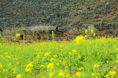 Canola field near house of ethnic minorities. Near Dong Van market, Ha Giang province, Vietnam. Ha Giang is one of the six poorest provinces of Vietnam. Ha Stock Image