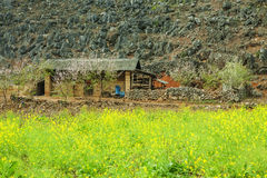 Canola field near house of ethnic minorities. Near Dong Van market, Ha Giang province, Vietnam. Ha Giang is one of the six poorest provinces of Vietnam. Ha Royalty Free Stock Photography