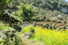 Canola field near house of ethnic minorities. Ha Giang province, Vietnam. Ha Giang is one of the six poorest provinces of Vietnam. Ha Giang is a famous tourist Royalty Free Stock Image