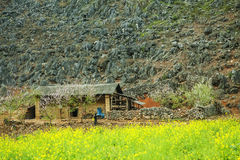 Canola field near house of ethnic minorities. Ha Giang province, Vietnam. Ha Giang is one of the six poorest provinces of Vietnam. Ha Giang is a famous tourist Stock Photos