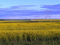 Canola Field near Lumsden Saskatchewan. Canola field and power lines near Lumsden, Saskatchewan Royalty Free Stock Photo