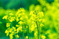 Canola Royalty Free Stock Photos