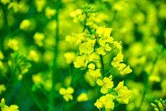 Canola Royalty Free Stock Photo