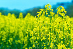 Canola Royalty Free Stock Images