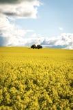 Canola field in NSW Australia Stock Image