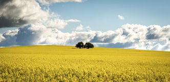 Canola field in NSW Australia Royalty Free Stock Photography