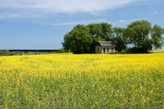 Canola Field with Old Farm House. An old prairie house surrounded by a bright yellow canola field Stock Images