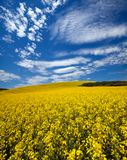Canola field in the Palouse. Canola field in Palouse, WA with blooming yellow flowers and blue sky with wispy clouds stock photos