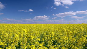 Canola field. Panning shot of a yellow Canola field stock footage
