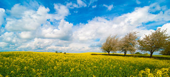 Canola Field Panorama stock images