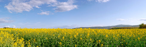 Canola Field Panorama Royalty Free Stock Photography
