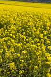Canola field portrait Royalty Free Stock Image