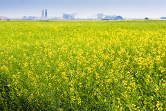 Canola Field on the Prairies Royalty Free Stock Photo