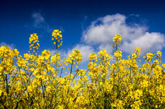 Canola field, Rape field Stock Photo