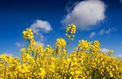 Canola field, Rape field Stock Image