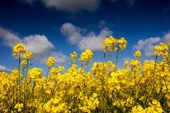 Canola field, Rape field Stock Photo