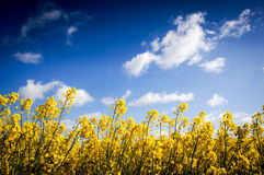 Canola field, Rape field Royalty Free Stock Photography