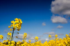 Canola field, Rape field Royalty Free Stock Photos
